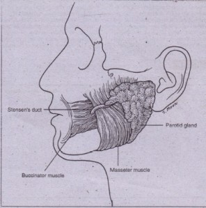 FIG. 20-1 Parotid gland anatomy. The course of Stensen's duct runs superficial to the masseter muscle and then curves sharply anteriorly to pierce the buccinator muscle fibers and enter the oral cavity.