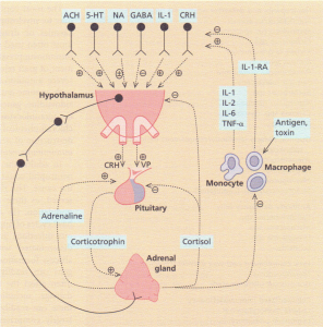 Interaction of the immune system with the hypothalamo-pituitary axis regulating adrenocortical secretion. In response to infection, activated T cells release cytokines which induce the hypothalamic release of corticotrophinreleasing hormone (CRH) and vasopressin (VP). This overrides the normal negative feedback relationship between corticotrophin and cortisol. Circulating cortisol also acts on peripheral immunocompetent cells to inhibit their activation and secretion of cytokines and other mediators of inflammation. ACH, acetylcholine; NA, noradrenaline; TNF, tumour necrosis factor. (From Reichlim 5 (1993) New England Journal of Medicine, 329, 1246. With permission.)