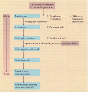 The oxidative pathway of tryptophan metabolism.