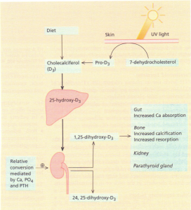 The metabolism and actions of vitamin 0. PTH, parathyroid hormone.