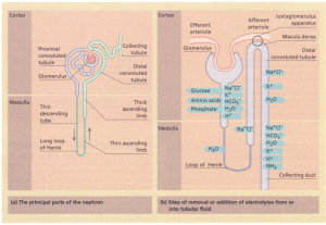 The principal parts of the nephron.