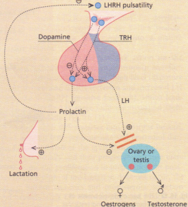 The control of prolactin secretion.