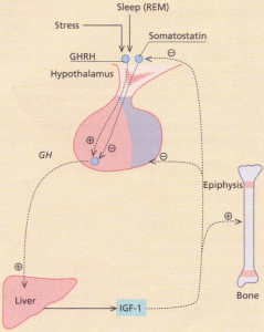 The control of growth hormone