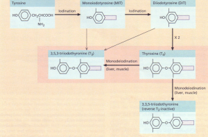 The synthesis and metabolism of the thyroid hormones.