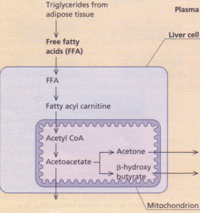 Ketogenesis. During insulin deficiency, lipolysis accelerates and free fatty acids taken up by liver cells form the substrate for ketone formation (acetoacetate, acetone and 13- hydroxybutyrate) within the mitochondrion.
