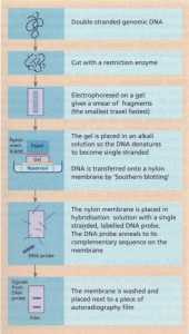 Southern blotting and DNA probes
