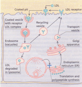 Receptor-mediated endocytosis. lDL receptors are formed in the endoplasmic reticulum and transported via the Golgi apparatus to the cell surface.