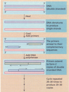 Polymerase chain reaction.