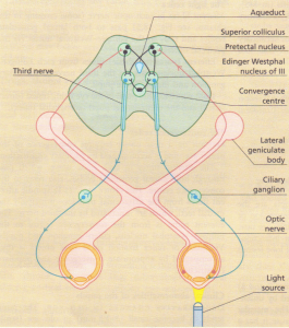 The pupils: afferent and parasympathetic efferent pathways.